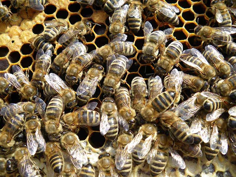 Bienen auf Wabe_Bio-Imkerei naduat