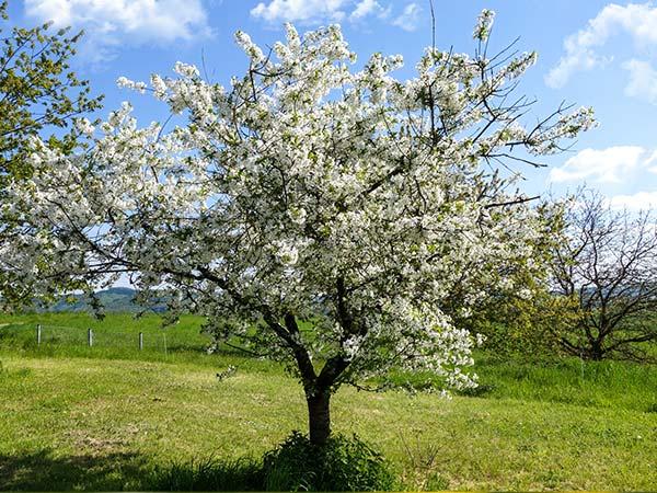 Bienenweide: Apfelblüten-Baum